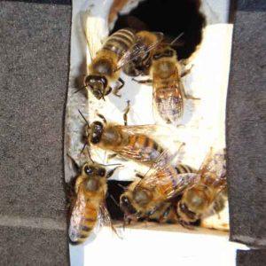 Honey bees in Winter